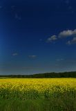 The blooming canola Stock Images