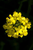 Blooming canola. Blooming single flower canola on black background Royalty Free Stock Photography