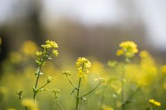 Blooming canola. Close-up of rapeseed flowers against a rapeseed field. Yellow rape flowers and young foliage. field in spring on a bright sunny day stock images