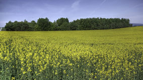 Blooming Canola Field royalty free stock photos