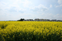 Blooming Canola Field. New houses behind a yellow blooming canola field royalty free stock photography