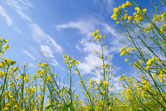 Blooming canola field Royalty Free Stock Photography