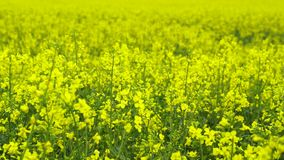 Blooming Canola Field. Farmland with blooming Canola in Germany stock video