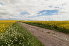 Blooming canola field. Flowering rape field with blue sky Royalty Free Stock Photos