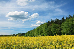 Blooming canola field and green forest, bavaria Stock Photos