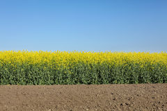 Blooming canola field in spring Royalty Free Stock Image