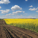 Blooming canola field in spring Stock Photography