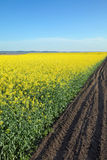 Blooming canola field in spring Stock Photos