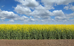 Blooming canola field in spring Stock Images