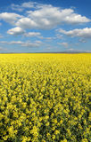 Blooming canola field in spring Stock Photo