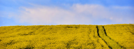 Blooming Canola field in the summer under blue sky Royalty Free Stock Photos