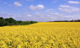 Blooming canola fields Stock Image