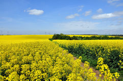 Blooming canola fields Stock Photography