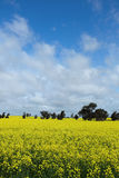 Blooming Canola flower Royalty Free Stock Photos