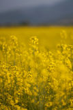 Blooming canola flower in the field Stock Photos
