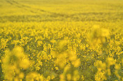 Blooming canola flowers on agricultural field. Rape in nature in spring. Bright Yellow oil. Flowering rapeseed. Photo. Blooming canola flowers on agricultural Royalty Free Stock Image