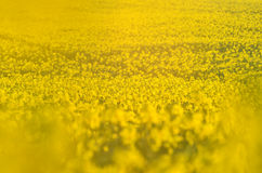 Blooming canola flowers on agricultural field. Rape in nature in spring. Bright Yellow oil. Flowering rapeseed. Photo. Blooming canola flowers on agricultural Royalty Free Stock Photos