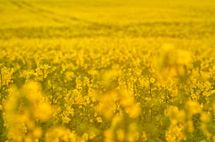 Blooming canola flowers on agricultural field. Rape in nature in spring. Bright Yellow oil. Flowering rapeseed. Photo. Blooming canola flowers on agricultural Royalty Free Stock Photography