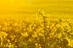 Blooming canola flowers on agricultural field. Rape in nature in spring. Bright Yellow oil. Flowering rapeseed. Photo. Blooming canola flowers on agricultural Royalty Free Stock Images