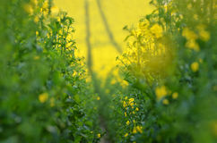 Blooming canola flowers on agricultural field. Rape in nature in spring. Bright Yellow oil. Flowering rapeseed. Photo. Blooming canola flowers on agricultural Stock Images