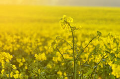 Blooming canola flowers on agricultural field. Rape in nature in spring. Bright Yellow oil. Flowering rapeseed. Photo with space f. Blooming canola flowers on Stock Image