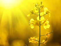 Blooming canola flowers closeup Royalty Free Stock Photography