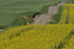 Blooming canola. Gravel road. Royalty Free Stock Image