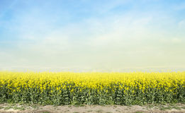 Blooming canola rape agriculture field against blue sky Stock Photography