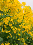 Blooming canola. Ripened yellow rape flowers. Stock Images