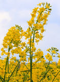 Blooming canola. Ripened yellow rape flowers. Royalty Free Stock Photography