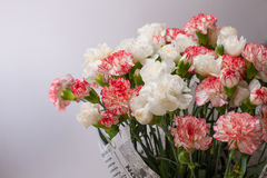 Blooming carnation Royalty Free Stock Images
