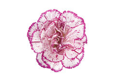 Blooming carnation flower Royalty Free Stock Image