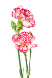 Blooming carnation Stock Photography