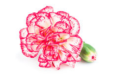Blooming carnation flower Stock Images