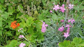 Blooming carnation and geranium carnation in summer garden flower bed. Closeup stock footage