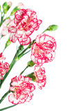 Blooming carnations Stock Image