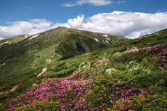 Blooming carpet of pink rhododendron flowers in green mountains royalty free stock images