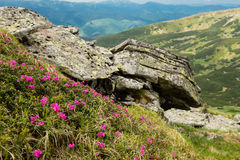 Blooming carpet of pink rhododendron flowers in the mountains Stock Photo