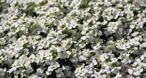 Blooming Carpet of White Aubrieta. Aubretia royalty free stock image