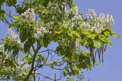 Blooming catalpa tree. Closeup blooming Catalpa bignonioides tree and beanpods on the blue sky Stock Image