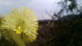 Blooming catkin, springtime, easter symbol stock photography