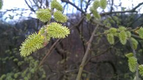 Blooming catkin, springtime, easter symbol stock photos