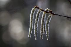 Blooming catkins on the birch. Blossoming earrings on birch in the spring forest in Russia royalty free stock photo