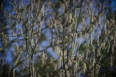 Blooming catkins on the birch. Blossoming earrings on birch in the spring forest in Russia stock photography