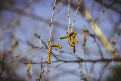 Blooming catkins on the birch. Blossoming earrings on birch in the spring forest in Russia stock image