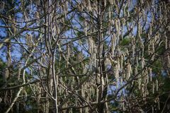Blooming catkins on the birch. Blossoming earrings on birch in the spring forest in Russia stock images