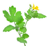 Blooming celandine Royalty Free Stock Photography