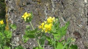 Blooming celandine ( Chelidonium majus) medical herb stock footage