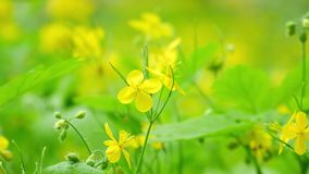 Blooming celandine stock video