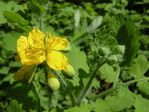 Blooming celandine Stock Photo